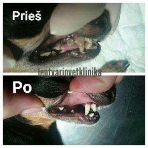 Šuns dantų apnašų valymas + poliravimas